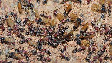 Cách đuổi và tiêu diệt kiến cánh ra khỏi nhà hiệu quả