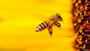 Nằm mơ thấy con ong, bị ong đốt là điềm báo gì, là số mấy?
